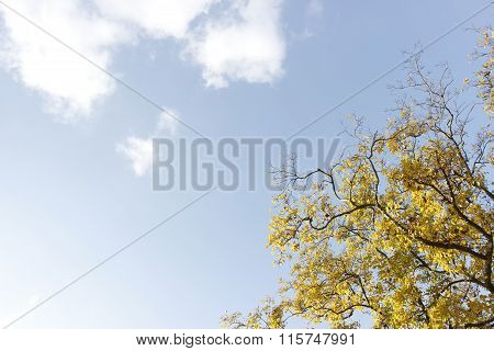 Yellow Blossom Ginko Tree On Blue Sky