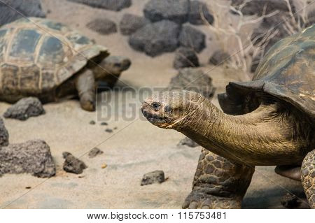 Giant Tortoises In Sand