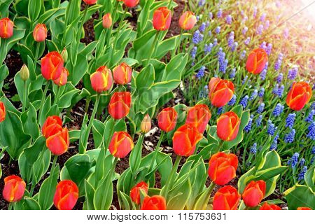 Flowers Red Tulips And Blue Hyacinths