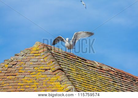Sea Gull On Tiled Roof in Canterbury UK