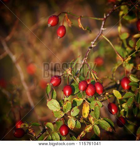 Rosehip berries background