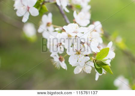 Blooming cherry branch on a tree. blooming gardens