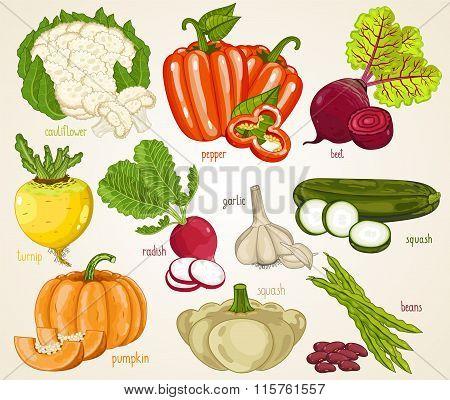 Vegetables isolated vector. Organic product, farm food. Fresh vegetable mix, cauliflower, turnip, pepper, onion, pumpkin, squash, garlic, beet.
