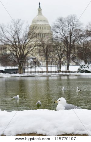 Washington DC in snow - A seagull in front of the reflection pool of US Capitol Building