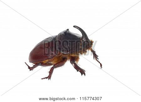 European Rhinoceros Beetle.