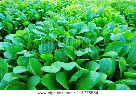 Green leaf mustard crops in growth at vegetable garden