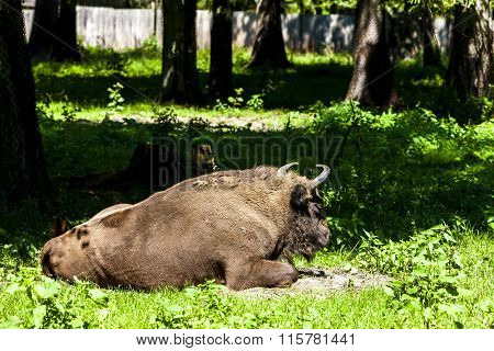 bison, Bialowieski national park, Podlaskie Voivodeship, Poland