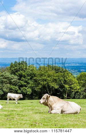 cows on meadow, Rhone-Alpes, France