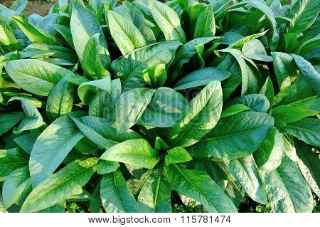 green indian lettuce plants in growth at garden