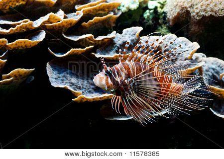 Rote Feuerfische (Pterois Volitans)