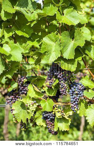 unripe blue grapes in vineyard, Lower Austria, Austria