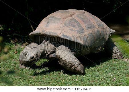 Tortoise (land turtle)