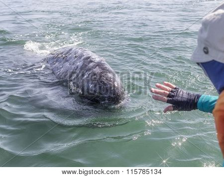 California Gray Whale