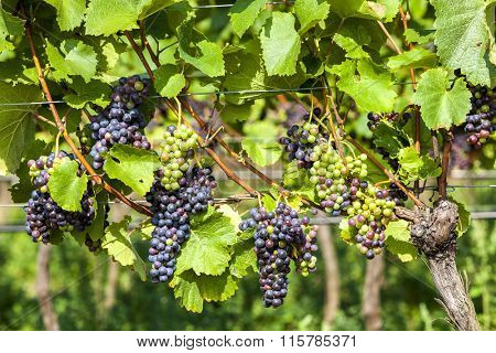 unripe blue grapes in vineyard, Lower Austria, Austria