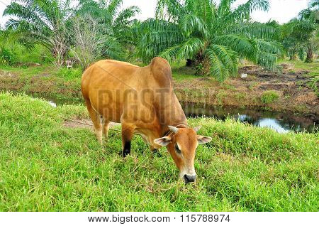 Cow is eating grass on a field.