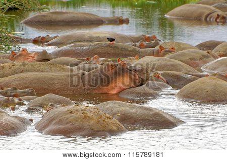 Hippopotamuses in Serengeti Wildlife Conservation Area, Safari, Tanzania, East Africa