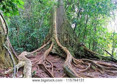 tree root buttress and tropical forest floor