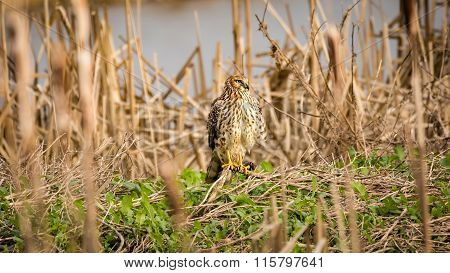 Wild Hawk on the Ground, Color Image