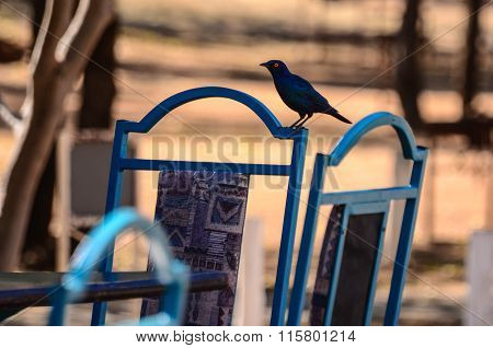 Blue colors on a bird and a chair in Africa