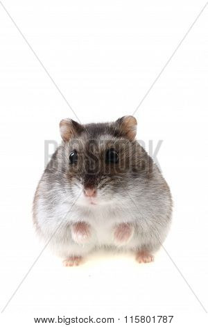 Young Dzungarian Hamster