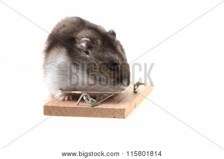 Young Dzungarian Hamster And Mousetrap