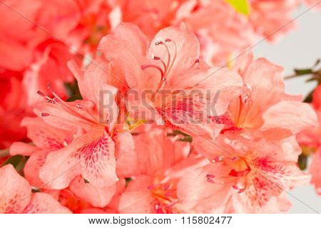 Coral Pink Azalea Flowers