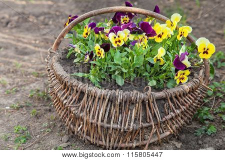 Beautiful Pansies Planted In Basket