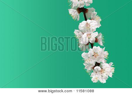 Blossoming Branch Of A Tree