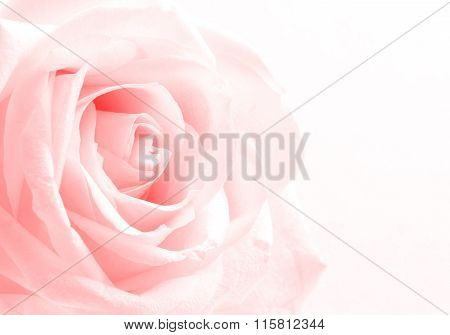 Beautiful Toned White Rose Close Up As Valentines Day Background. Soft Focus.