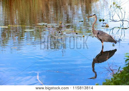 Great Blue Heron Fishing At Everglades National Park