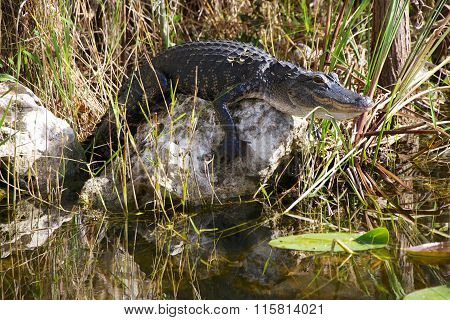 Young Alligator On A Rock