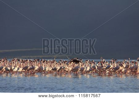Flock of Greater and Lesser Flamingos at Lake Bogoria, Kenya