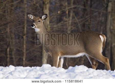 Whitetail doe profile