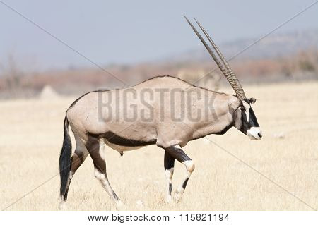 Oryx In Grassland