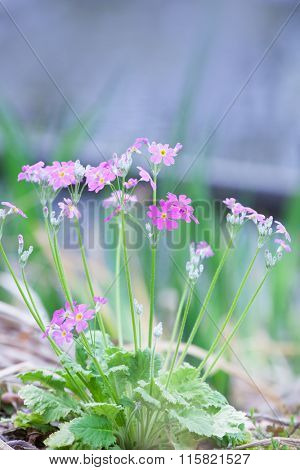 Japanese Primrose (Primula sieboldii) blooming in spring. Shallow depth of field.