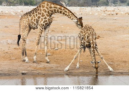 Giraffe Cow And Bull At Waterhole