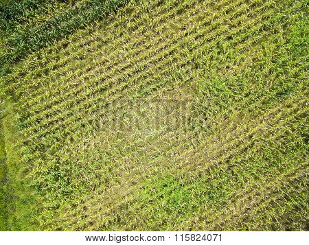 Corn Plantation on Farmland in Mato Grosso, Brazil