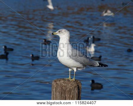 Black Ring Bill Sea Gull