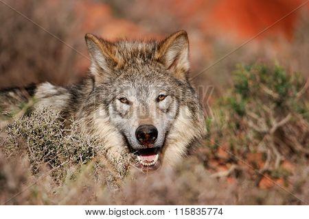 Portrait Of Gray Wolf