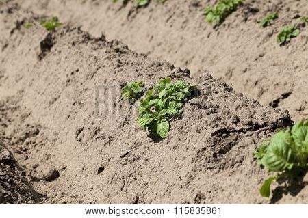 potato field. close-up
