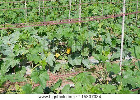 Small Pumpkin organic Farm