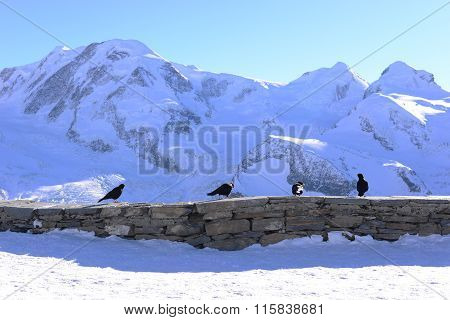 Four Black Crows On Stone Fence With Snow Mountain