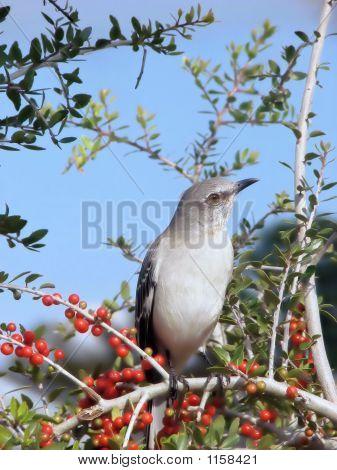 Northern Mockingbird On A Shrub