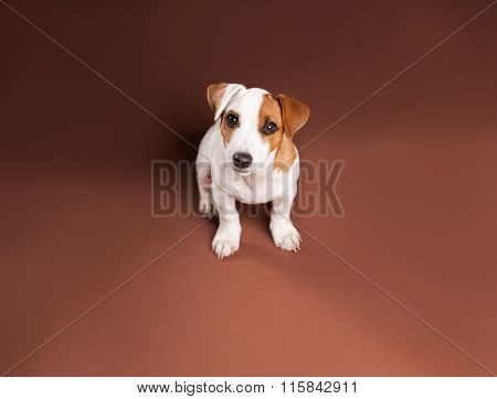 Puppy sitting at home. Dog at brown background. Studio Shot
