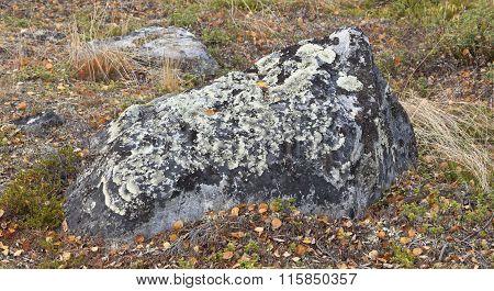 Arctoparmelia centrifuga, lichen in the family Parmeliaceae.