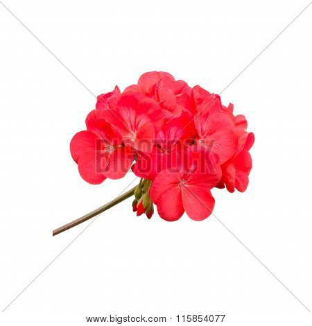 Geraniums Isolated On White Background