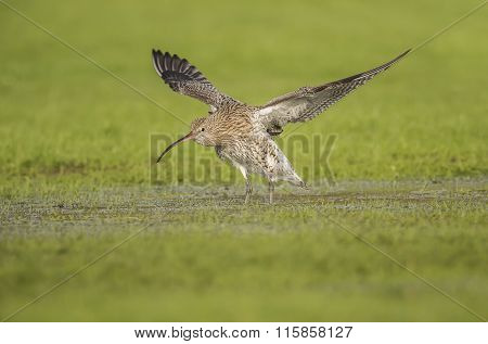 Curlew Numenius arquata Curlew flying from a puddle