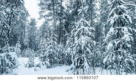 Snow-covered trees  in Winter Forest. Tinted Picture