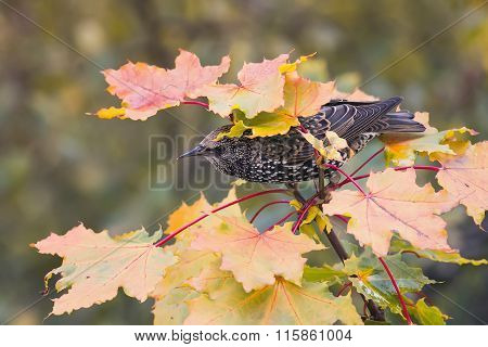 bird Starling among maple leaves in autumn