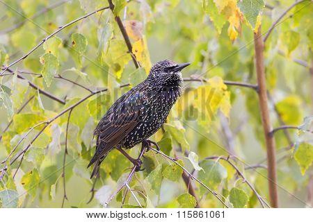 mottled black Starling
